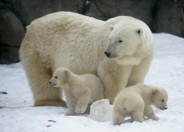 Какой праздник отмечают 27 февраля - Международный день полярного медведя