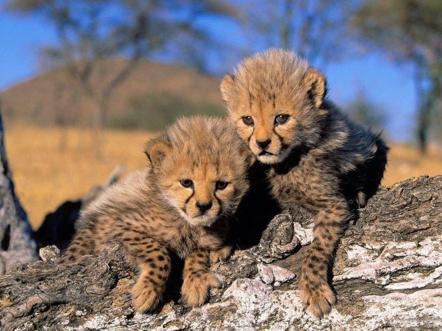 Картинка маленьких гепардов - детенышей самого быстрого животного на планете