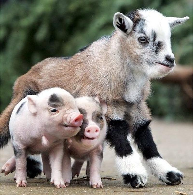 Год какого животного? Коза и свинья - символы года (разных) по восточному календарю