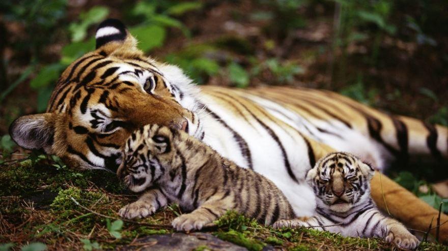 Какое животное? На фото тигр