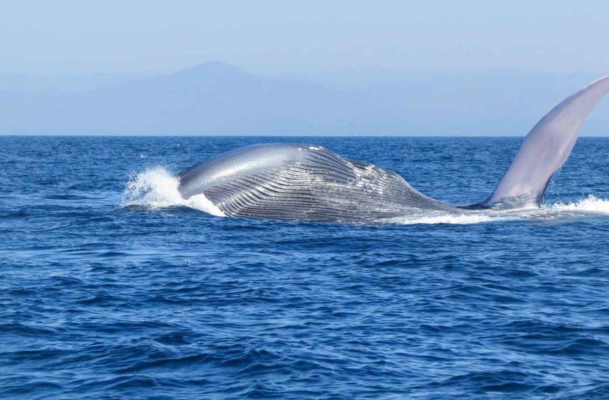 Скачать фото синего кита бесплатно