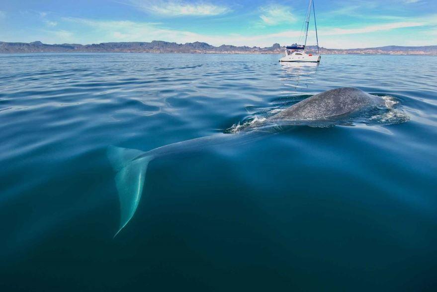 Скачать фото интересного животного бесплатно - синий кит