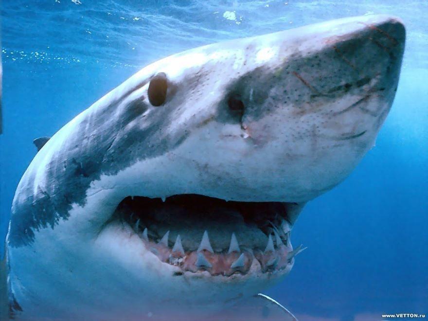 Самое опасное животное в мире - белая акула