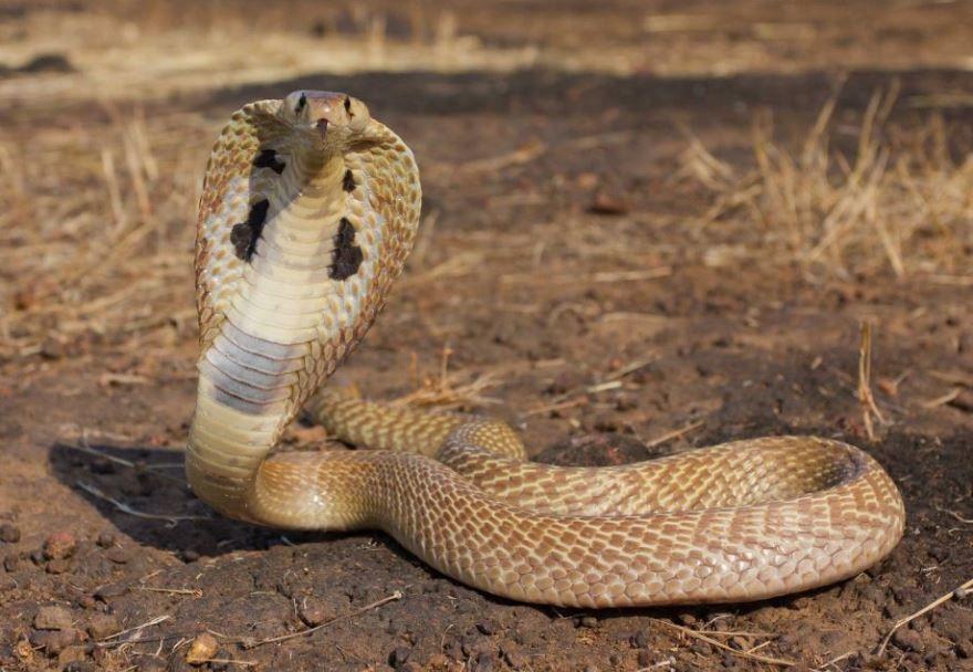 Скачать бесплатно редкие кадры самых опасных животных - королевская кобра