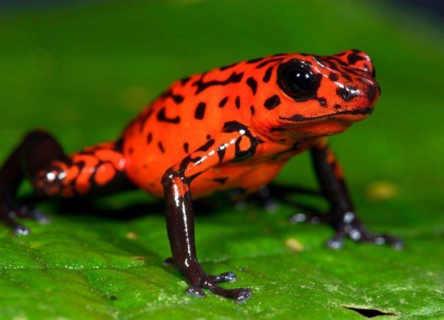 Редкий кадр самого опасного и интересного животного - лягушки древолаза