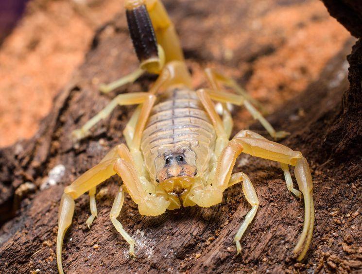 скорпион лейурус - самое опасное животное мира - скачать фото бесплатно