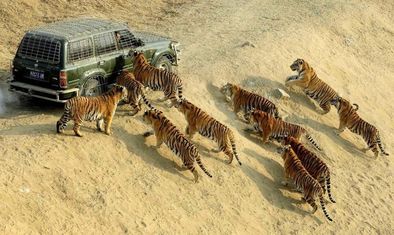 тигр - самое опасное животное мира - скачать фото бесплатно