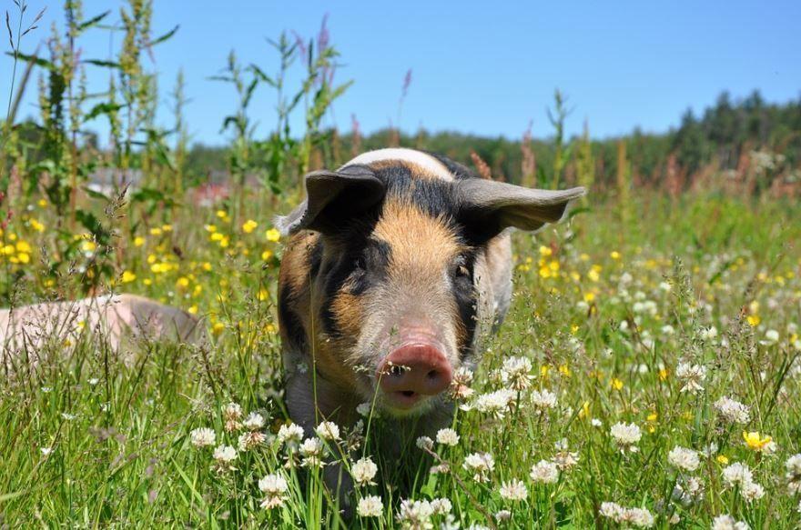 Китайский календарь 2019 год какого животного? Земляной свиньи