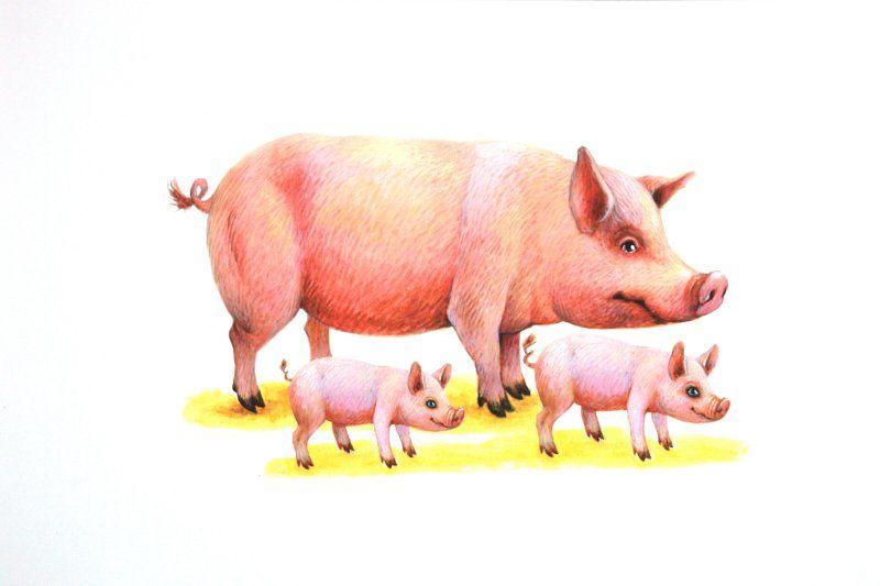Картинки про домашних животных для срисовки - свиньи