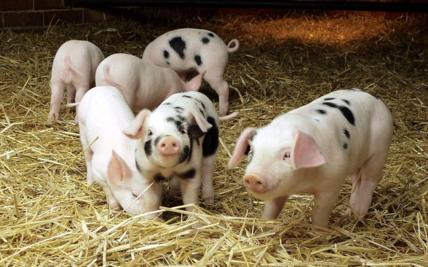 Домашнее животное - свинья