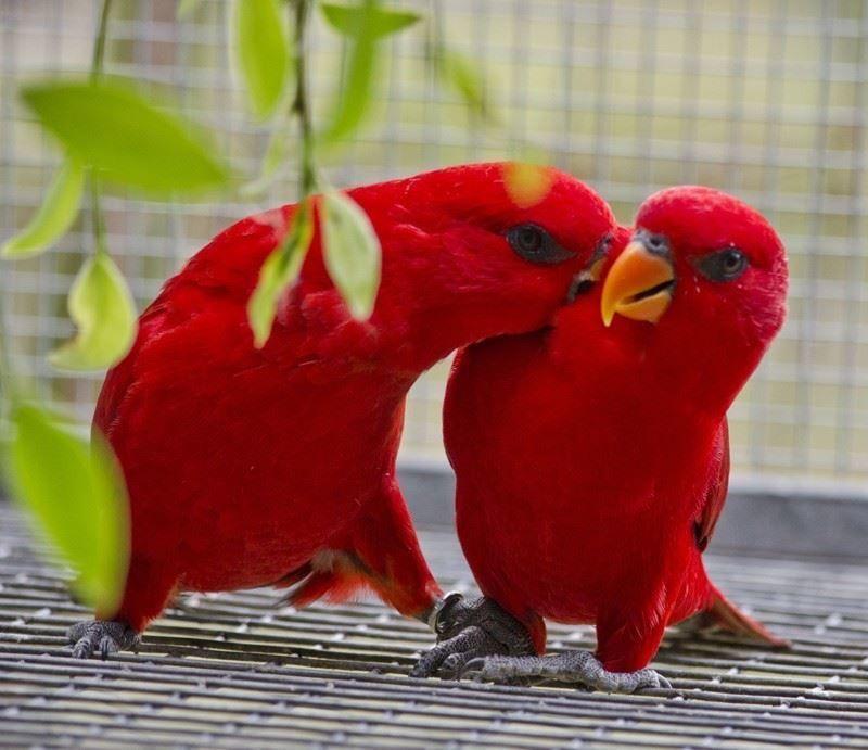 Смешная картинки для самых маленьких детей про животных - красные лори