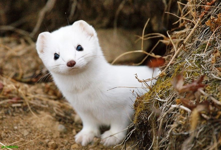 >Фото животного для маленьких детей с названием - ласка, скачать, смотреть онлайн, бесплатно