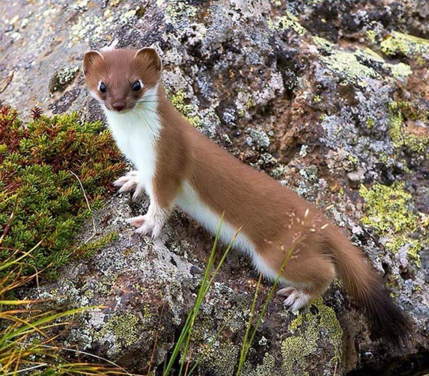 >Фото животного для детей с названием - ласка, скачать, смотреть онлайн, бесплатно