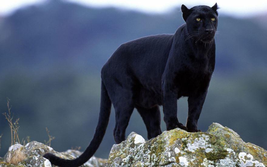 фото черных видов животных, самое опасное животное - пантера