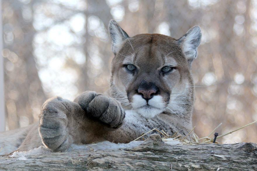 Самое опасное животное, фото животного для детей - пума