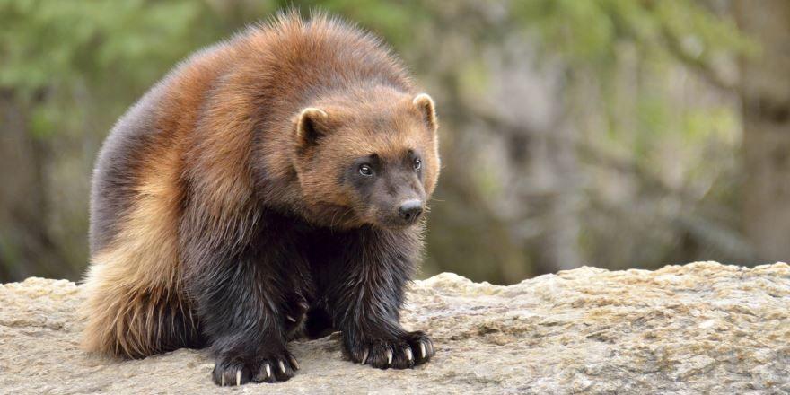 Фото необычных животных мира- росомаха