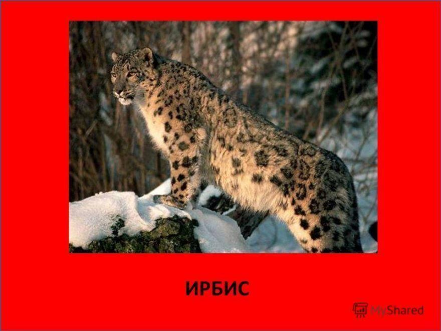 Фото животного, находящегося в красной книге - снежный барс.