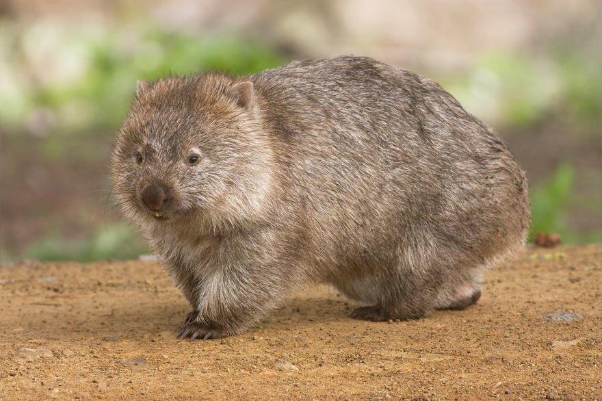 Фото необычных животных с названием, бесплатно - вомбат