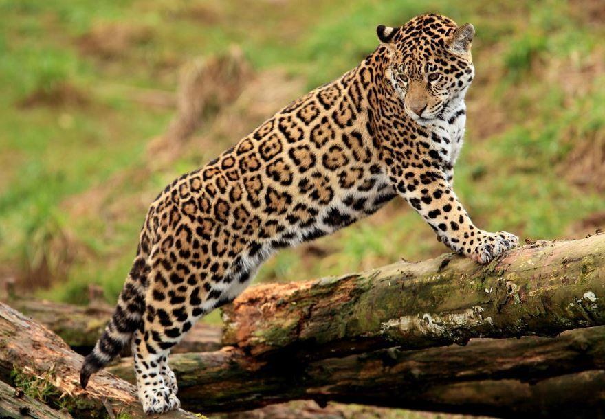 Самое опасное животное фото бесплатно - ягуар