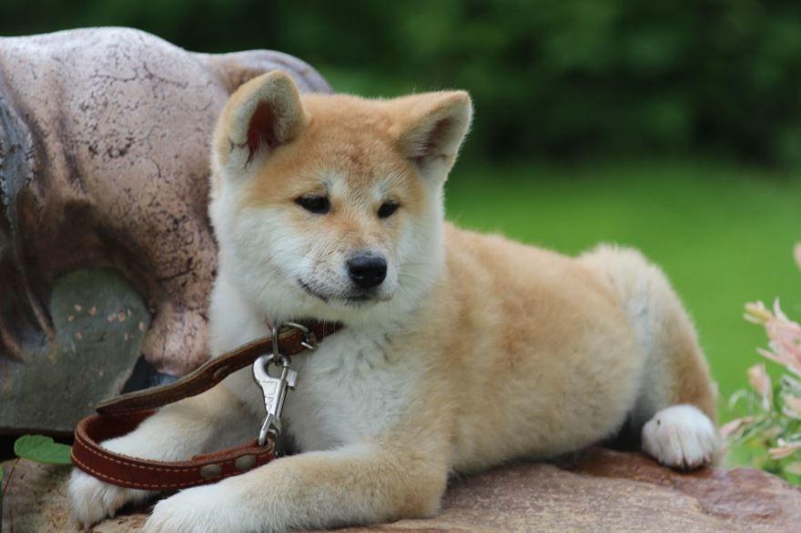 Порода собак с названием - Акита Ину