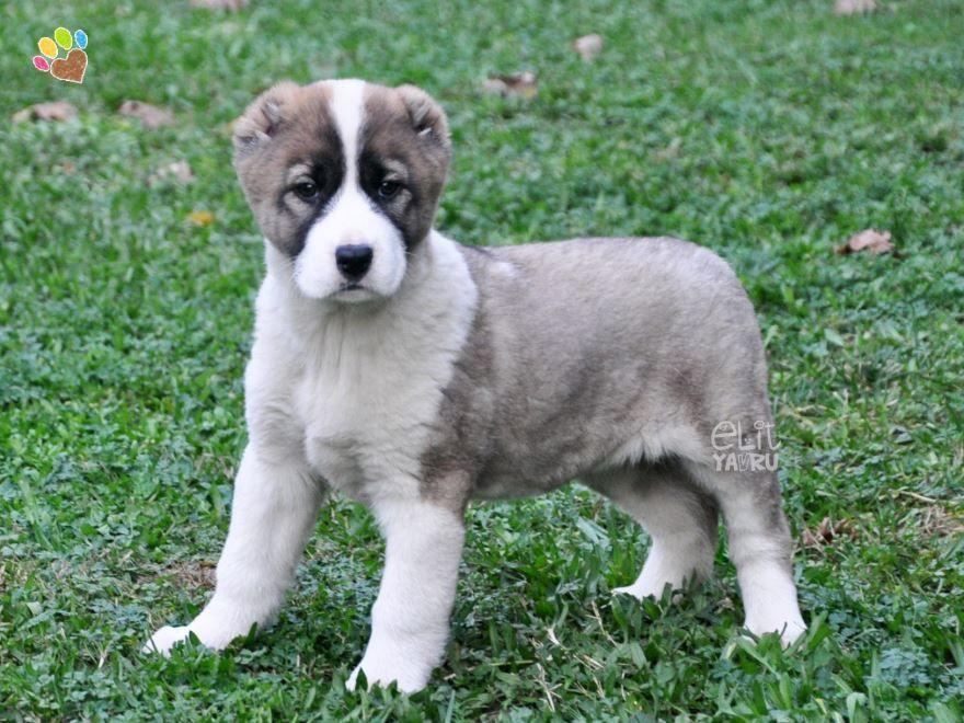 Фото больших собак - маламут