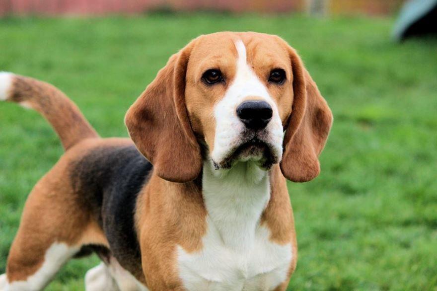 Умные породы маленьких собак - бигль