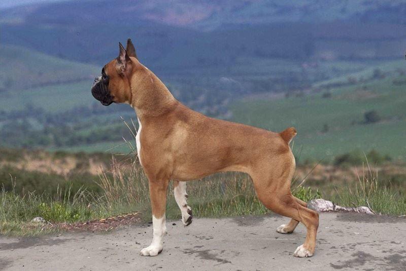 Бойцовская порода средних собак - боксер