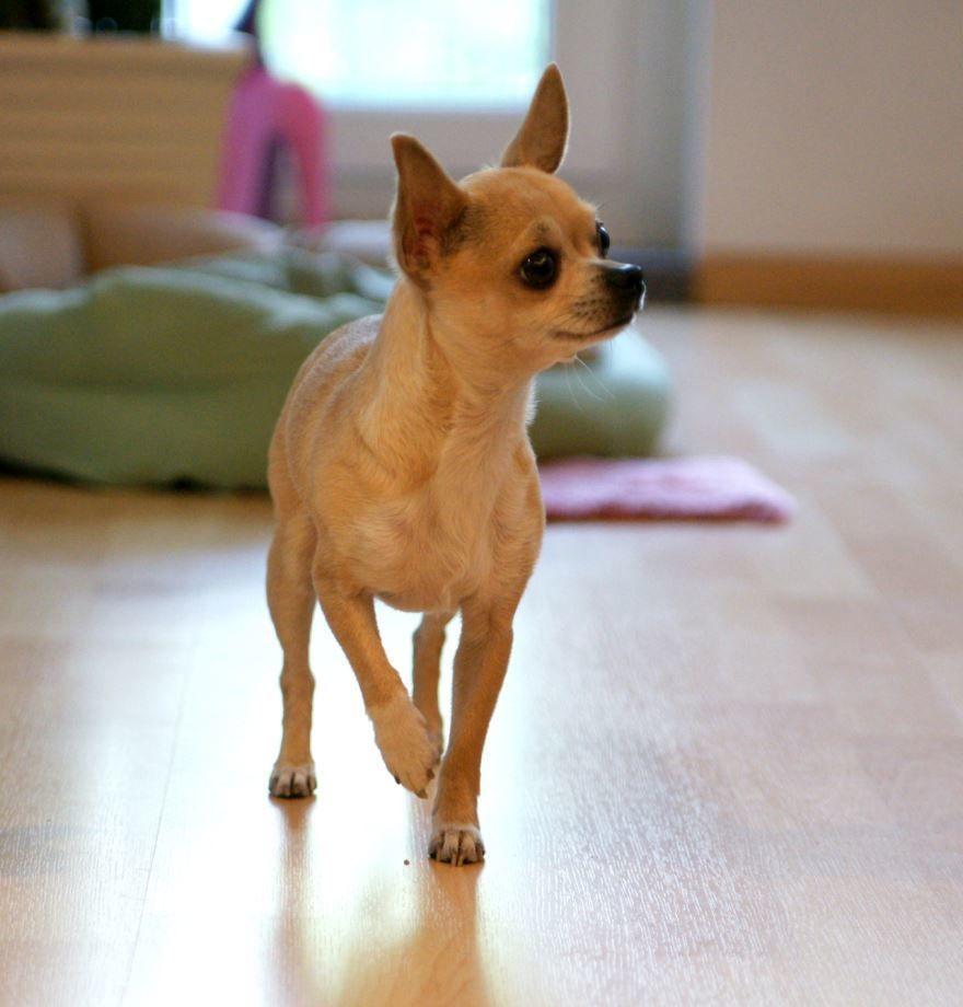 Фото маленьких собак - чихуахуа