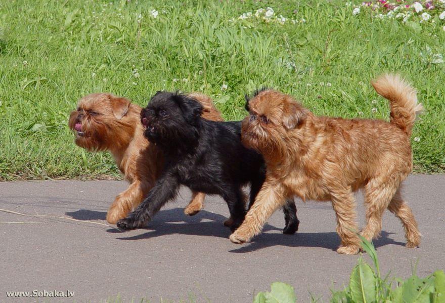 Как называется порода собак? Брюссельский грифон - фото маленьких собак