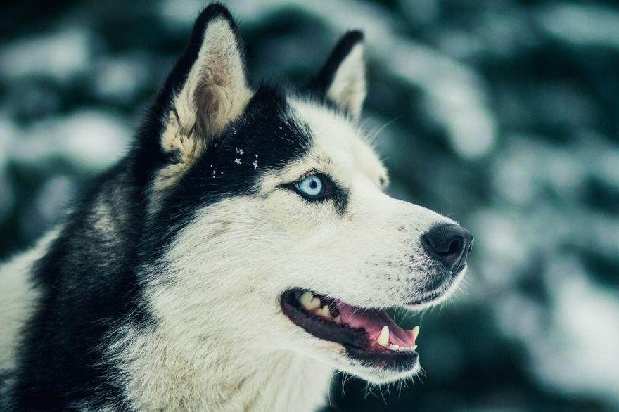 Фото больших собак - хаски