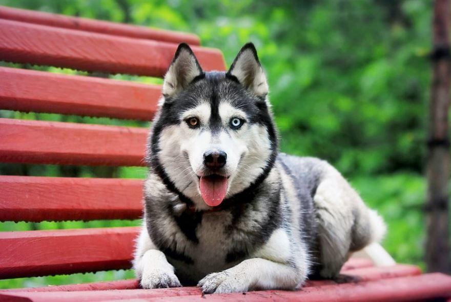 Умные породы собак, Фото больших собак - хаски