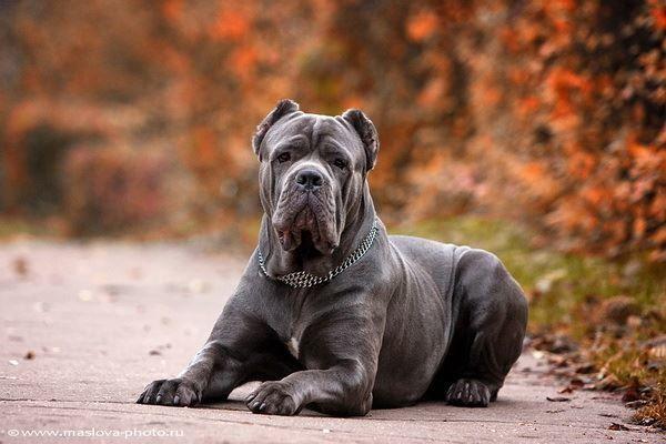 Фото собаки - кане корсо