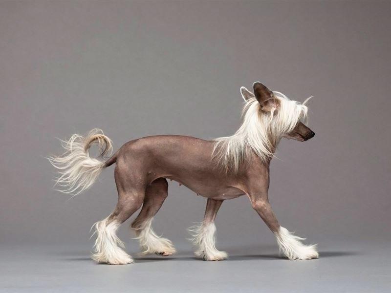 Маленькая порода собак - китайская хохлатая