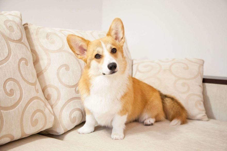 Смешные маленькие собаки - корги