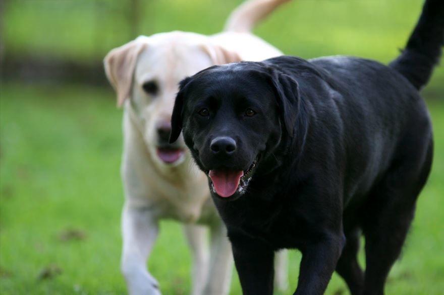 Большие породы собак - лабрадор