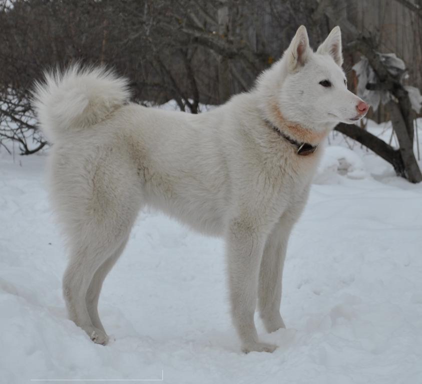 Средняя порода собак под названием - лайка