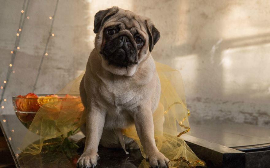 Лучшие маленькие породы собак - мопс, картинка на рабочий стол