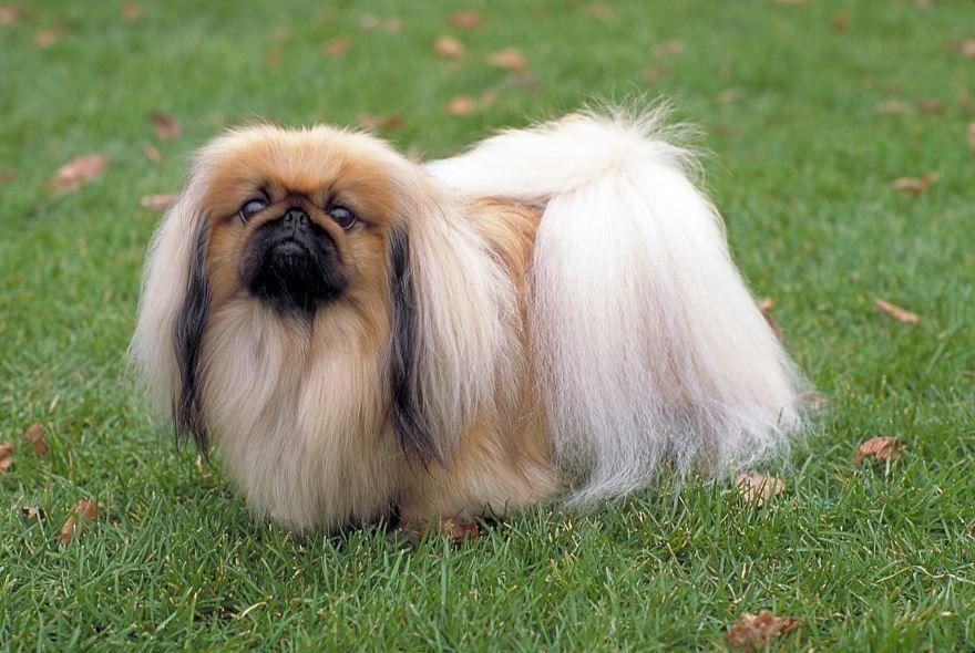 Фотография собаки - пекинес