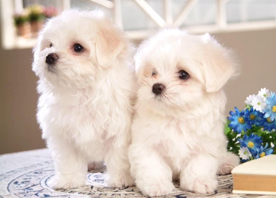 Порода маленькой собаки - болоньез