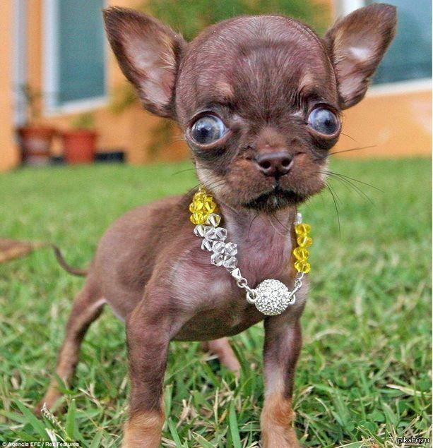 Порода маленькой собаки - чихуахуа