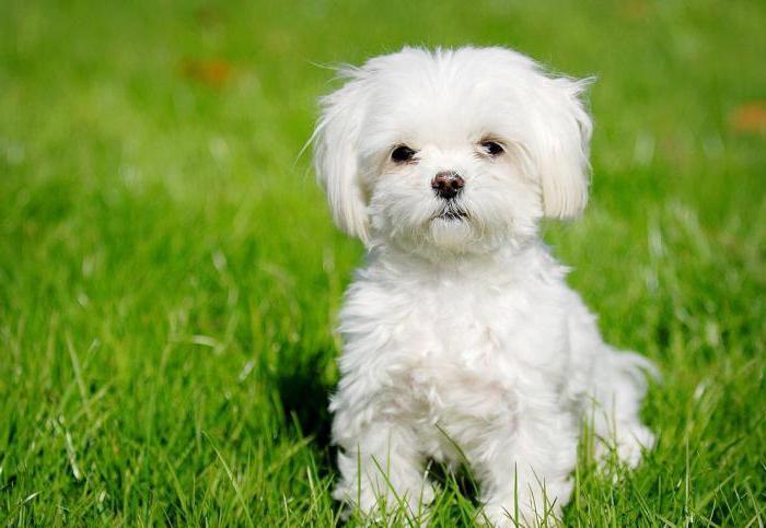 Мальтийская болонка - бесплатное фото маленькой собаки