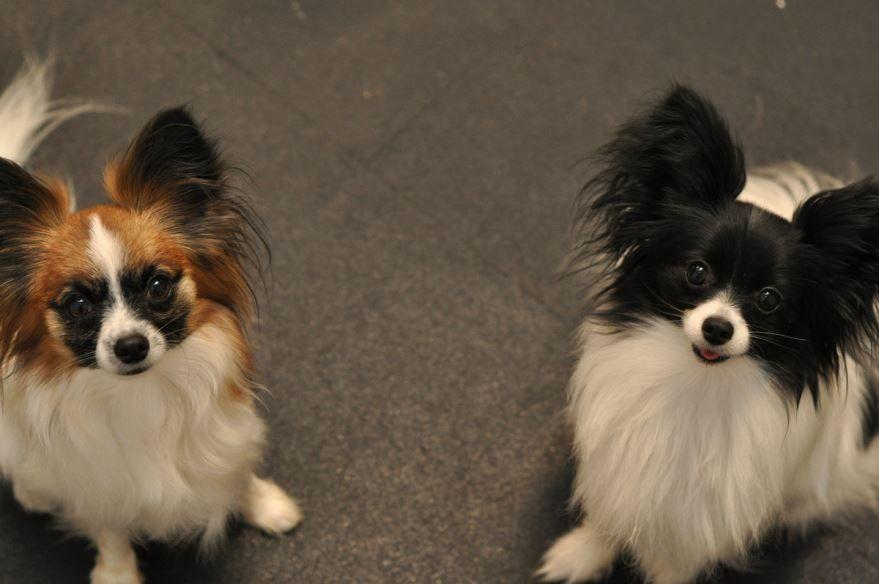 папильон  - бесплатное фото маленькой собаки