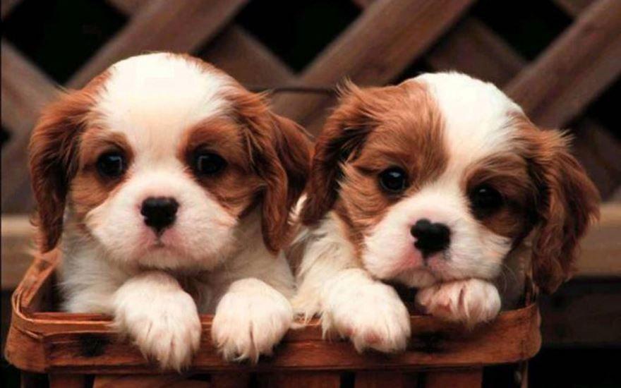 Фотография маленьких пород собак - щенки бесплатно