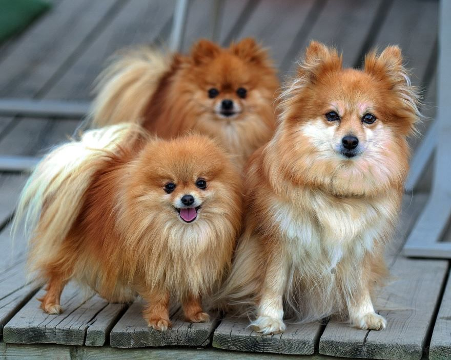 Фотография шпицей - маленькие собаки