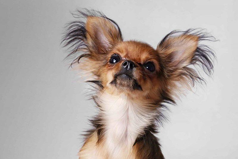 Породы маленьких собак с фотографией и названием - той терьер