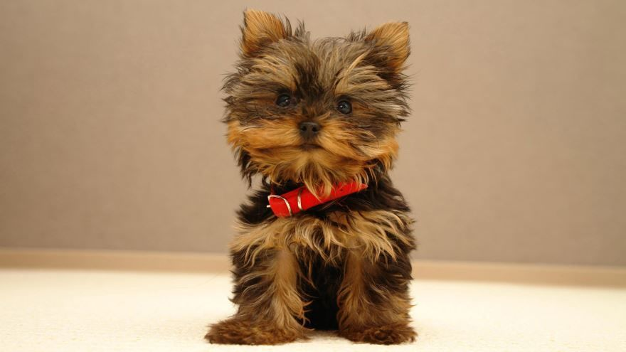 Маленькая пушистая собака - йоркширский терьер