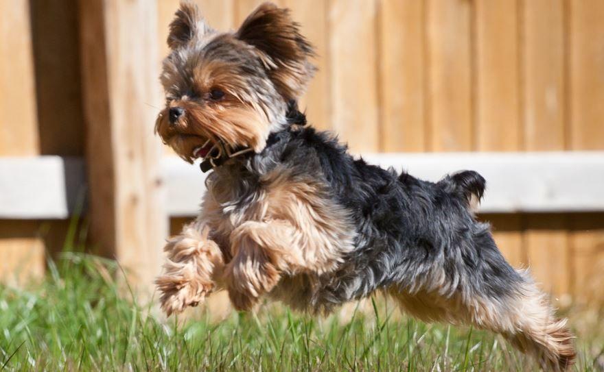 Породы маленьких собак с фотографией и названием - йоркширский терьер