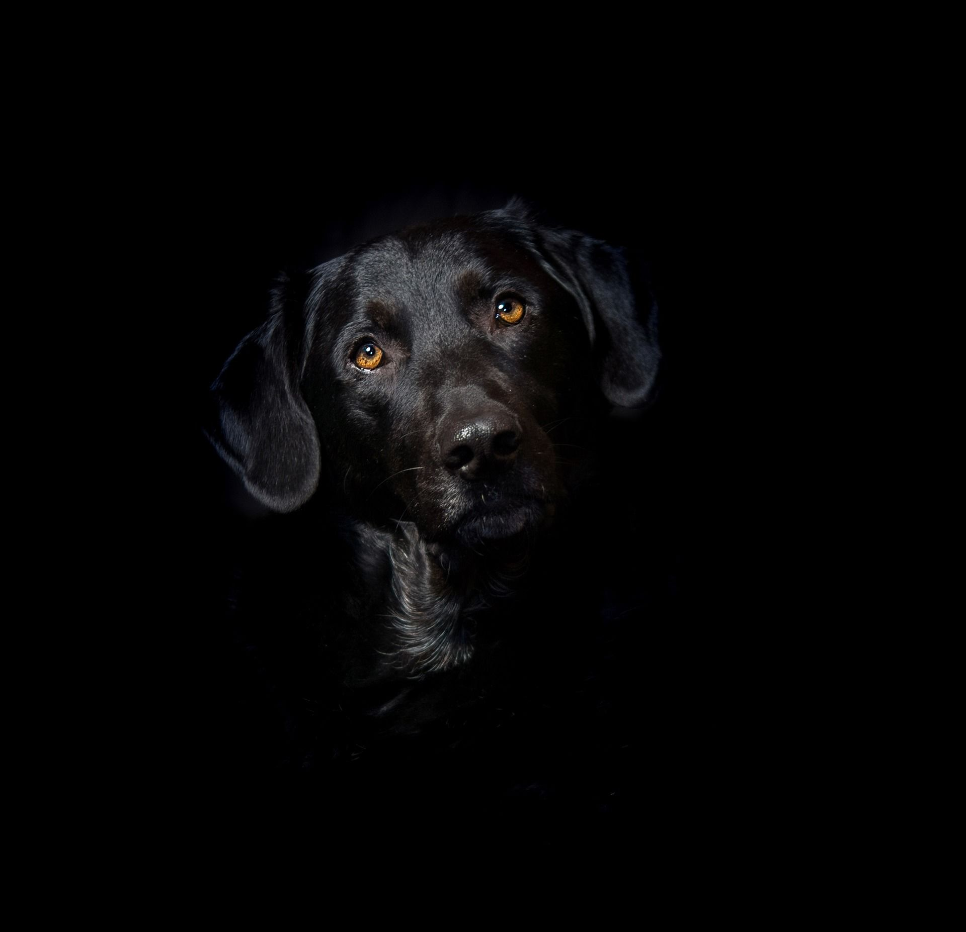 Фото черного лабрадора