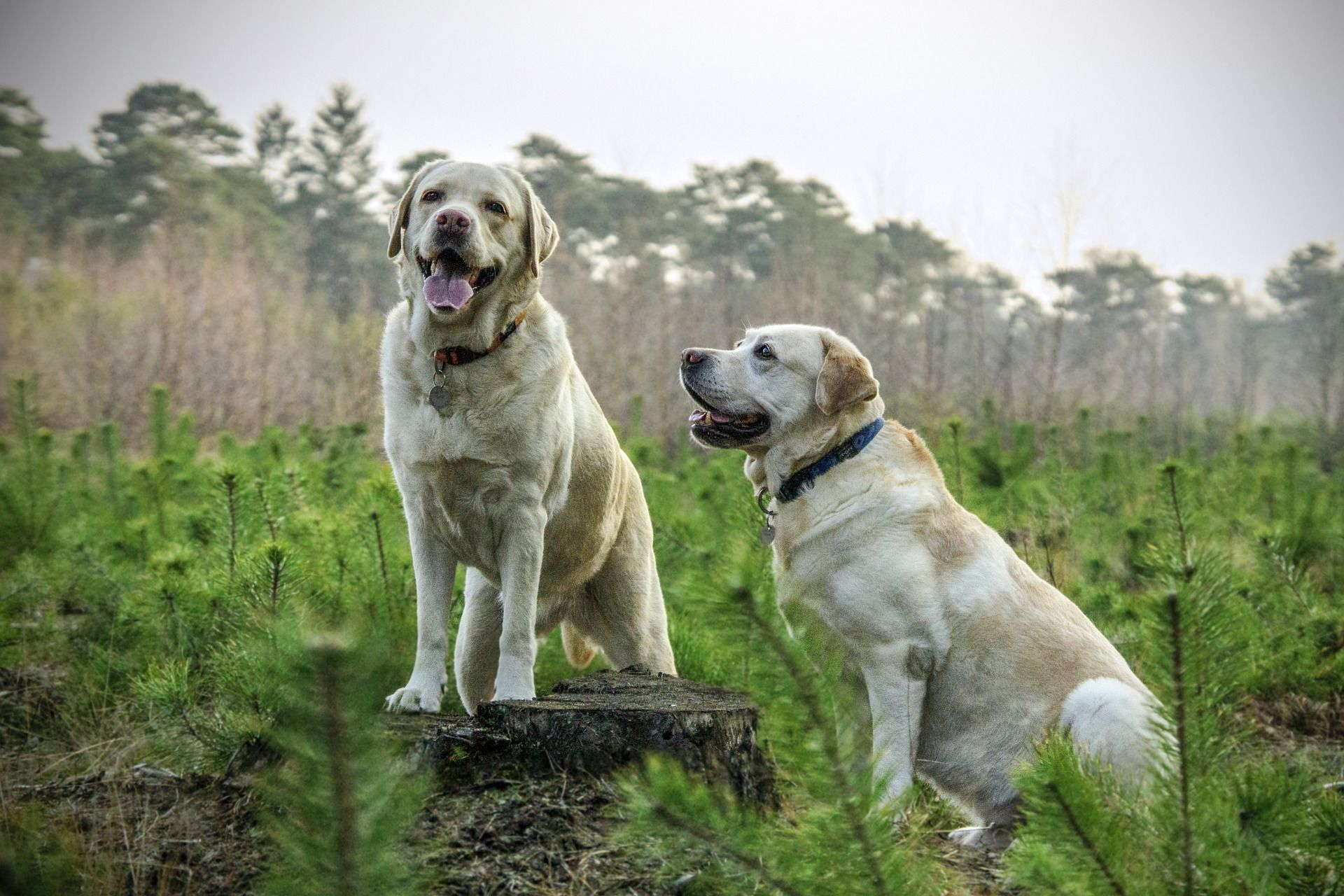 Фото собаки - порода лабрадор