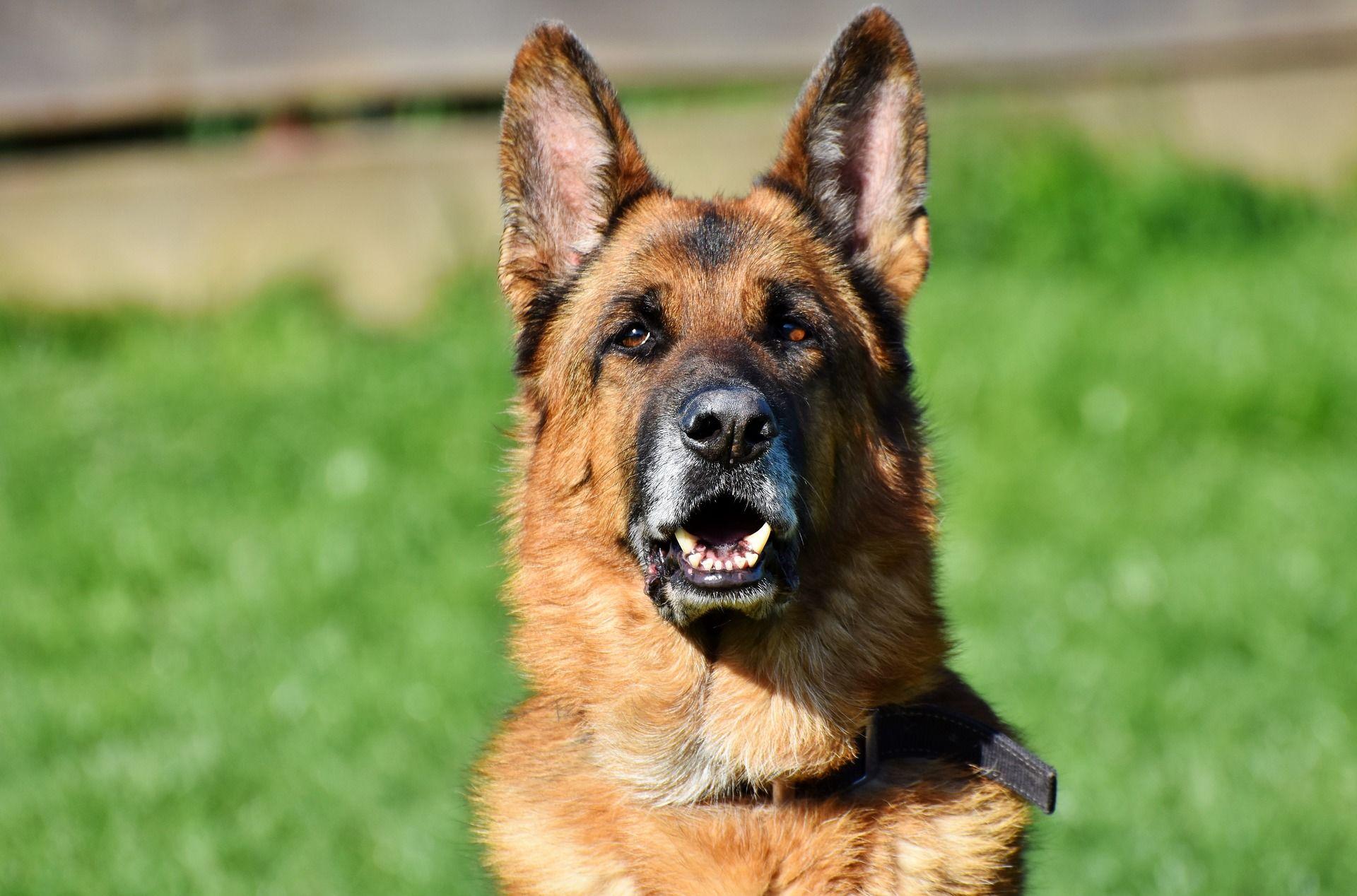 Собака породы - немецкая овчарка